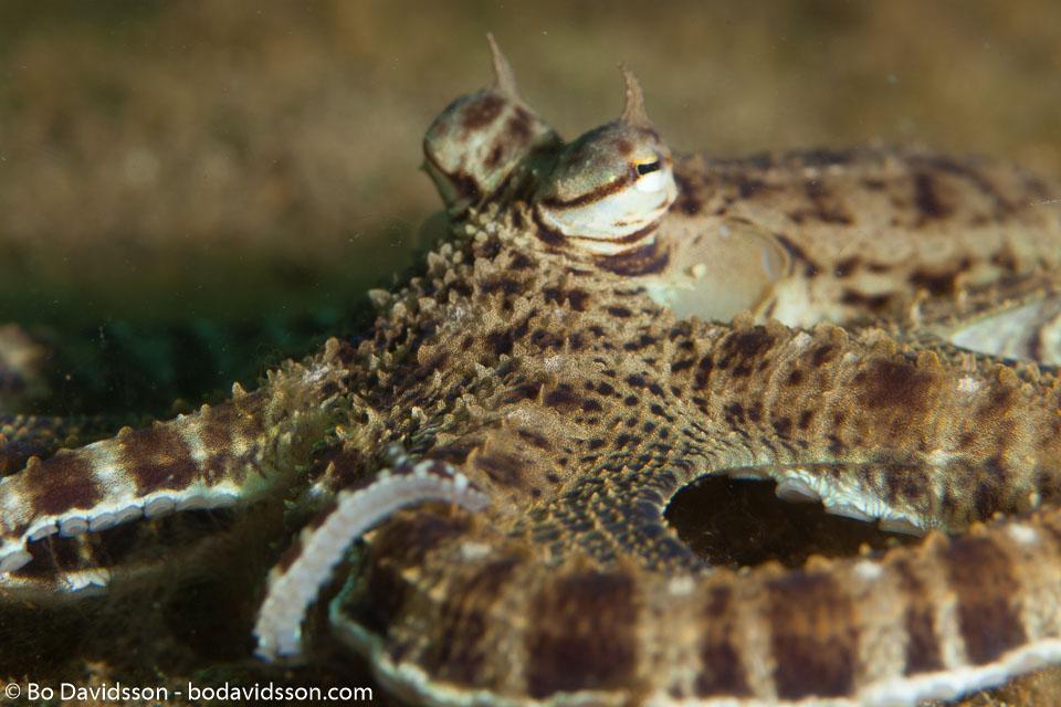 BD-140317-Padre-Burgos-2620-Thaumoctopus-mimicus.-Norman---Hochberg.-2005-[Mimic-octopus].jpg